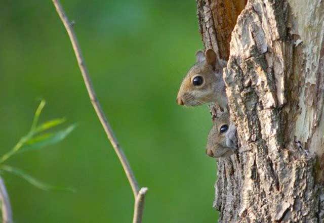 Kleine Eichhörnchen im Kobel