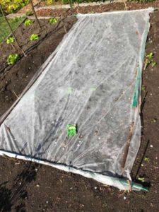 Buschbohnen nach der Aussaat vor den Eisheiligen schützen